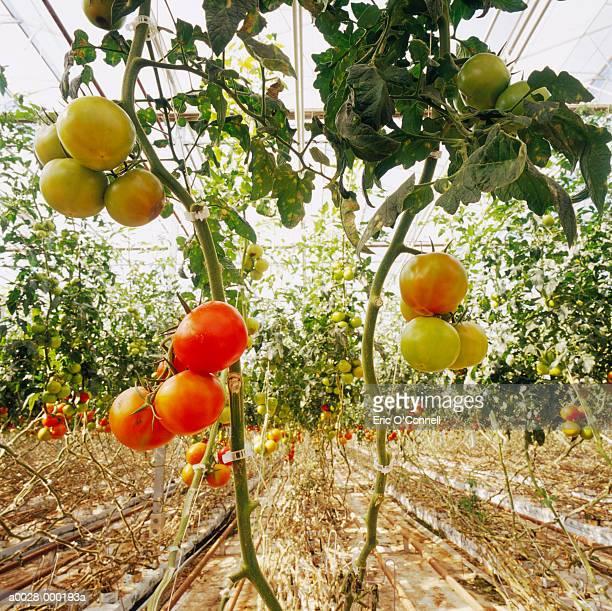 ripening tomato plants - plant de tomate photos et images de collection