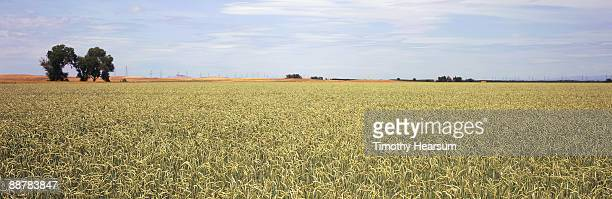 ripening wheat field - timothy hearsum stockfoto's en -beelden
