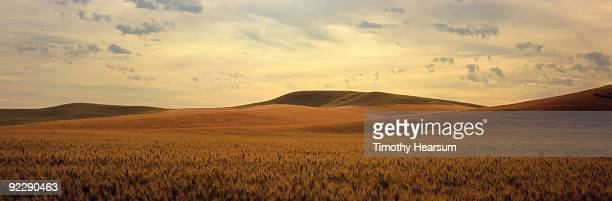 ripening wheat in late afternoon light - timothy hearsum imagens e fotografias de stock