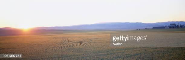 Ripening Wheat in prairie field with farm in background Near Helena Montana USA.