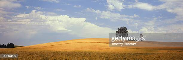 ripening wheat on hillside - timothy hearsum stock pictures, royalty-free photos & images