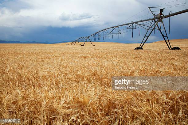 ripening wheat with rolling irrigation mechanism - timothy hearsum stock pictures, royalty-free photos & images