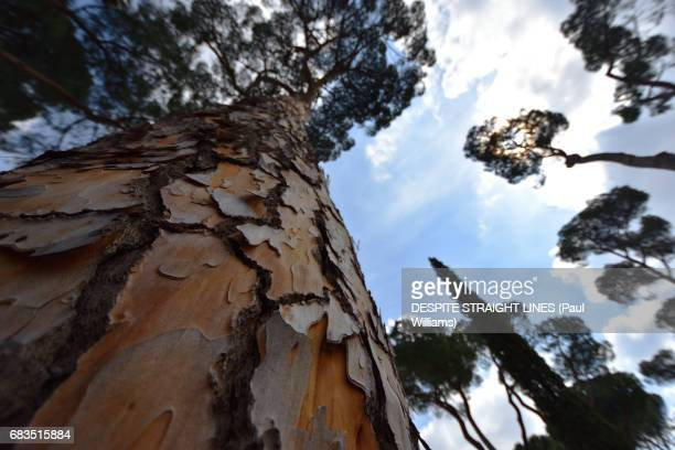 Rise of the Stone Pines (Rome, Italy)