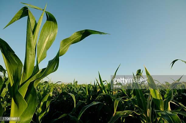 Rising corn plantation against blue sky