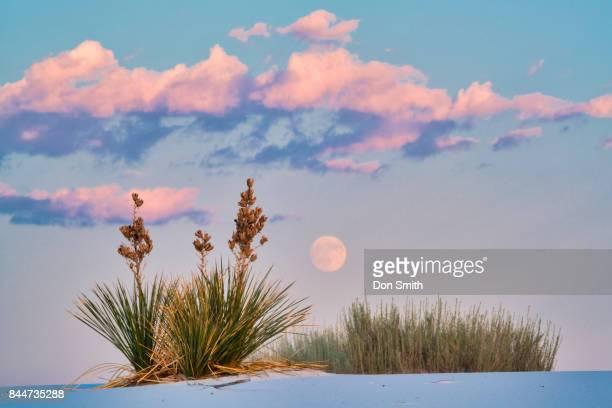 rising full moon over yuccas - don smith foto e immagini stock