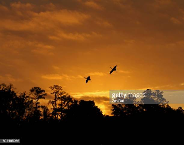 rising sun highlights silhouettes of sandhill cranes against golden sky - gainesville florida stock photos and pictures