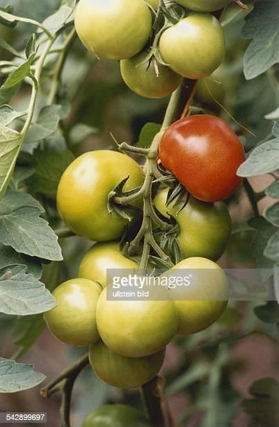 Rispe einer Tomatenpflanze mit reifen und unreifen Früchten