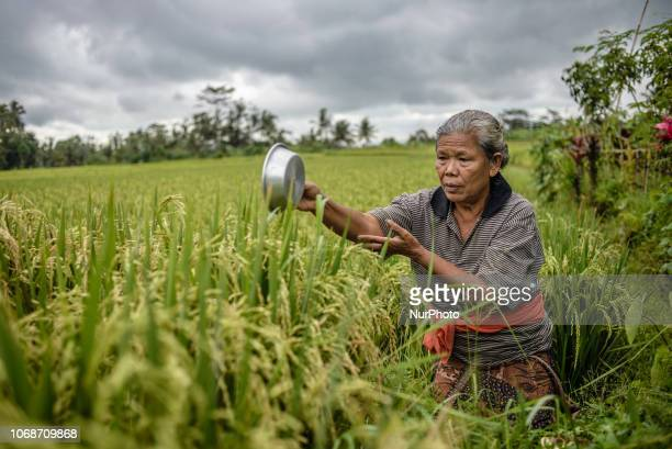 Ritual of religious offering in a paddy field at the village near Ubud Ubud District Bali Indonesia in November 2018