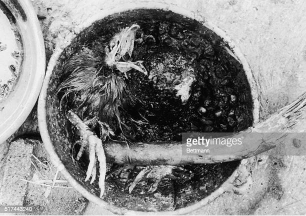 A ritually sacrificed chicken in a pot at a cult run ranch in Matamoros Mexico The cult was lead by Adolfo Constanzo a drug dealer serial killer and...