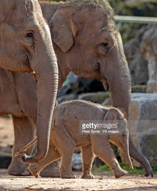 Riva Hi Way, a baby Asian elephant calf born last month at Chester Zoo, makes her public debut alongside her mother 15-year-old Sundara Hi Way . PA...