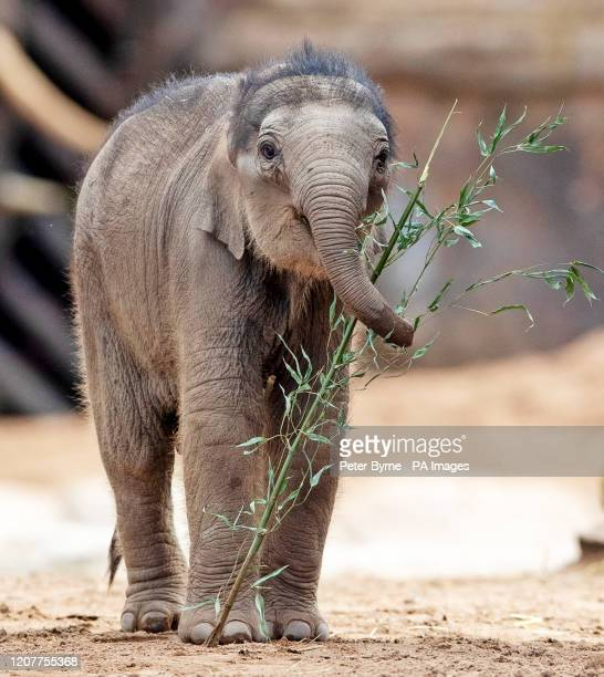 Riva Hi Way, a baby Asian elephant calf born last month at Chester Zoo, makes her public debut alongside her mother 15-year-old Sundara Hi Way. PA...