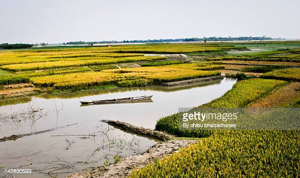 River Brahmaputra and golden Paddy field