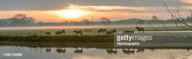 river great ouse at sunrise - sheep stock pictures, royalty-free photos & images