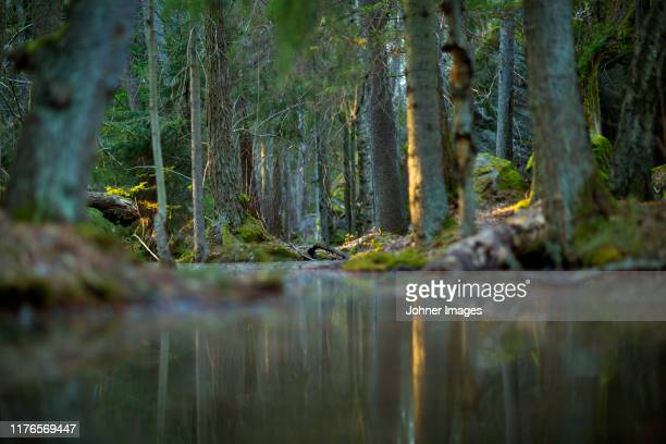 river in forest - spruce tree stock pictures, royalty-free photos & images
