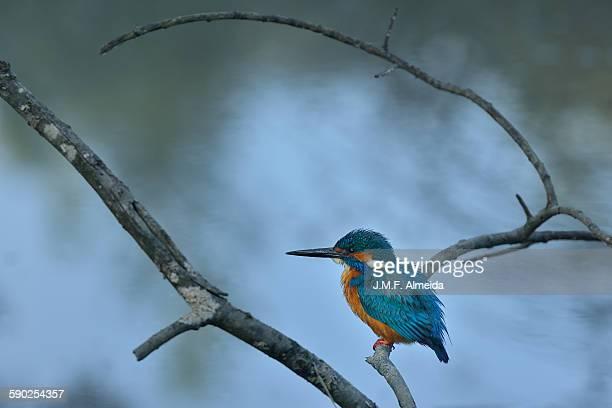 River kingfisher - Alcedo atthis