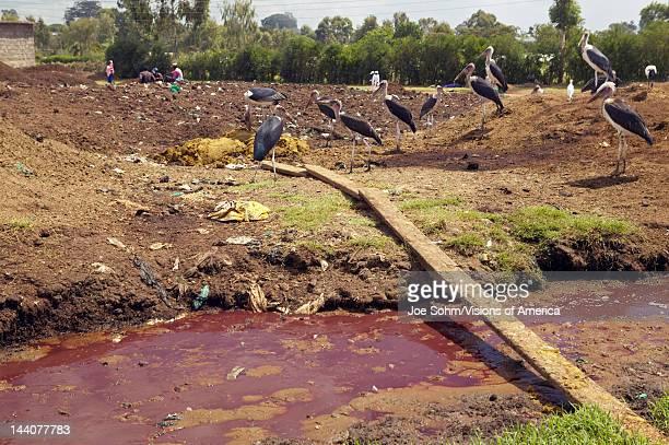 River of blood flows from Nyongara slaughterhouse in Nairobi Kenya Africa