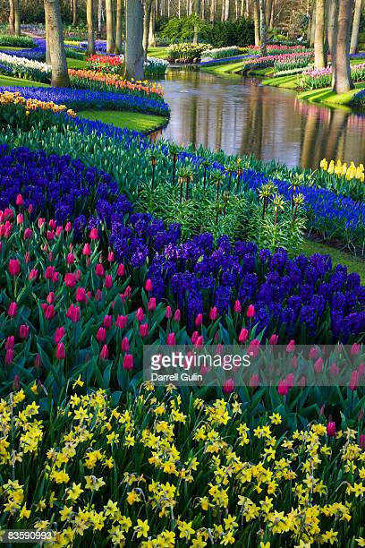 river of grape hyacinth in landscape of tulips - keukenhof gardens stock pictures, royalty-free photos & images