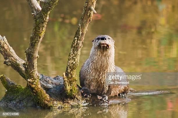 River otter at oaks bottom wildlife refuge
