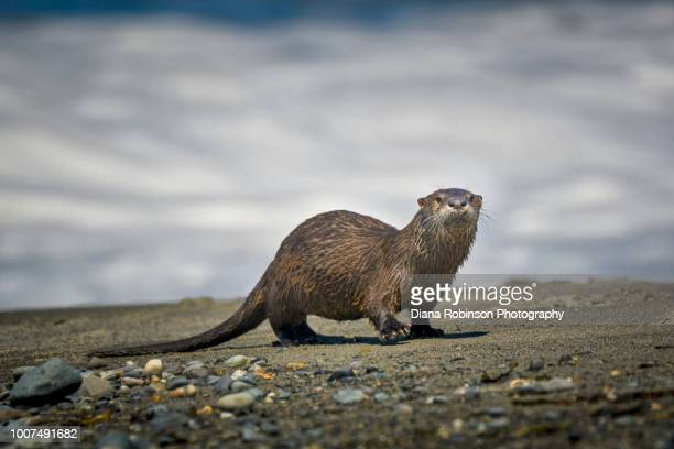 river otter comes ashore on the dungeness spit at strait of juan de fuca, washington state - river otter stock pictures, royalty-free photos & images
