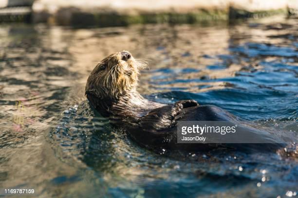 river otter eating on back - lontra imagens e fotografias de stock