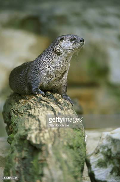 river otter lutra canadensis on log zoo animal - river otter stock pictures, royalty-free photos & images