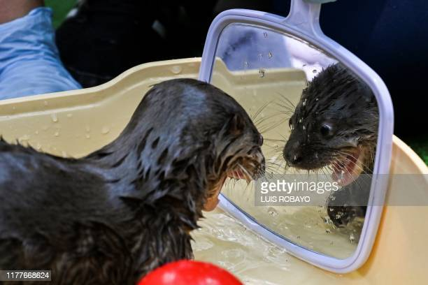 TOPSHOT A river otter of 6weeksold looks in the mirror during a bath in the Animal Welfare Unit of the Zoo in Cali Colombia on October 22 2019 The...