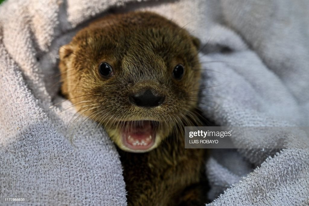 COLOMBIA-ANIMALS-OTTER : News Photo
