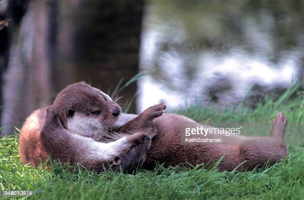 river otter pair - river otter stock pictures, royalty-free photos & images
