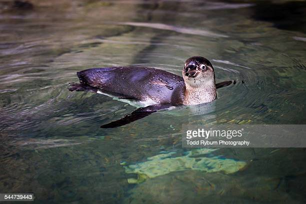 river otter - river otter stock pictures, royalty-free photos & images