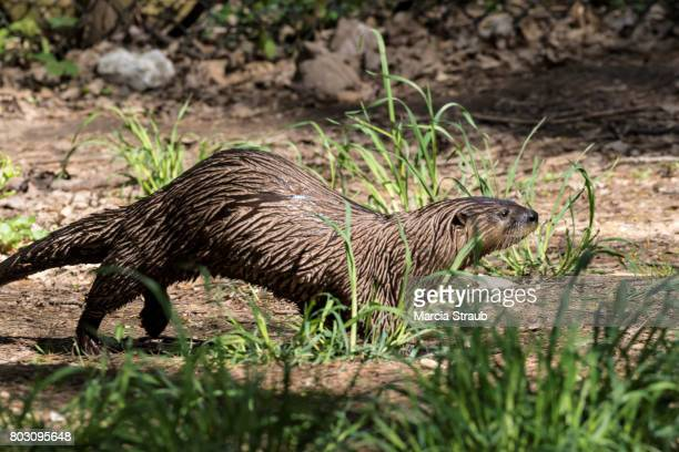 river otter running  on the edge of a pond - river otter stock pictures, royalty-free photos & images