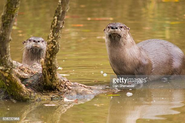river otters at oaks bottom wildlife refuge - dan sherwood photography stock pictures, royalty-free photos & images