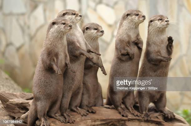 river otters in zoo - lontra imagens e fotografias de stock