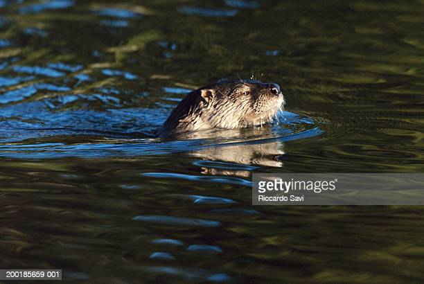 River otters (Lutra canadensis) swimming, side view