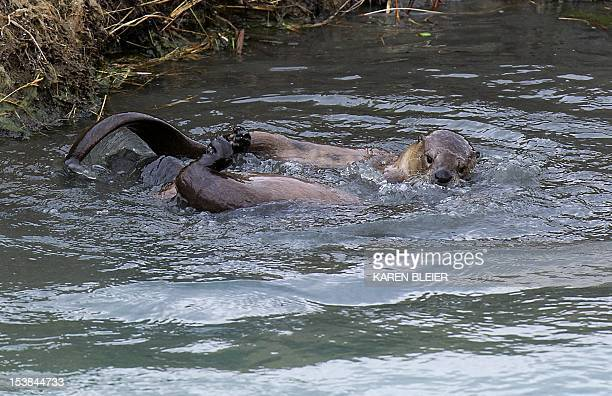 River otters wrestle in Pelican Creek October 9 2012 in Yellowstone National Park Wyoming Yellowstone National Park is America's first national park...
