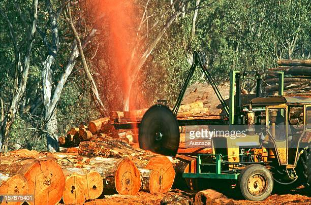 River red gum , logs being milled. The trees grow in the river floodplains and banks where they are inundated by annual floods, making for rapid...