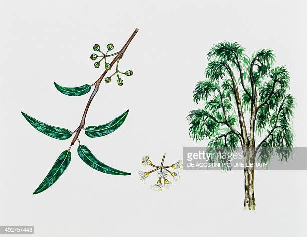 River Red gum Myrtaceae tree leaves flowers and fruits illustration