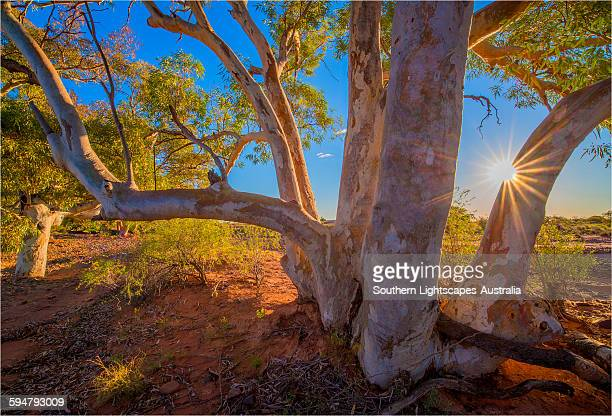 river red gums at nilpena station - eucalyptus tree stock pictures, royalty-free photos & images