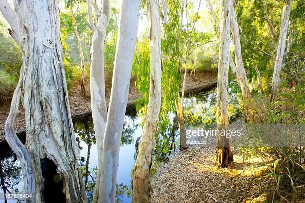 River red gums , by the Jalboi River. Wongalara Station Reserve, southeast Arnhem Land, Northern Territory, Australia.