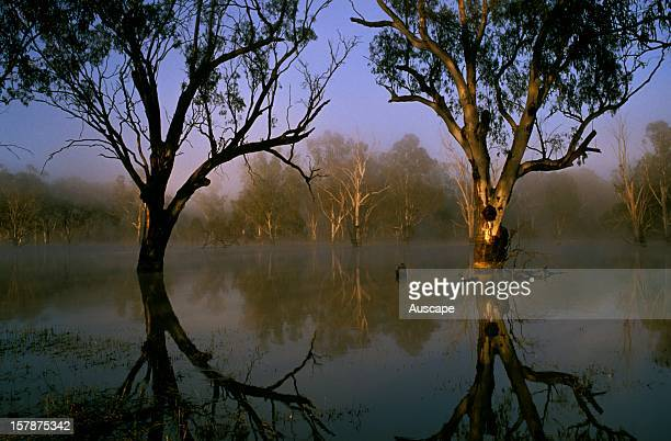 River red gums during late winter/spring floods Flooded Red gum provides important waterbird breeding habitats Murrumbidgee River New South Wales...