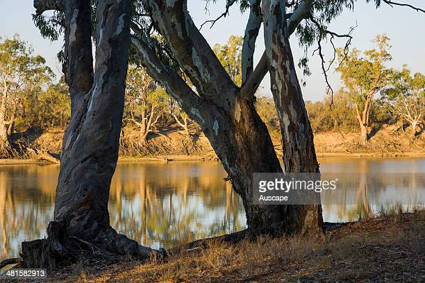 River red gums Eucalyptus camaldulensis lining the Murray River the far bank is in New South Wales MurrayKulkyne Regional Park Victoria Australia