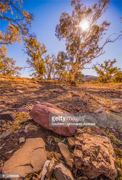 River Red gums in a dry watercourse, Parachilna, Flinders Ranges, South Australia.