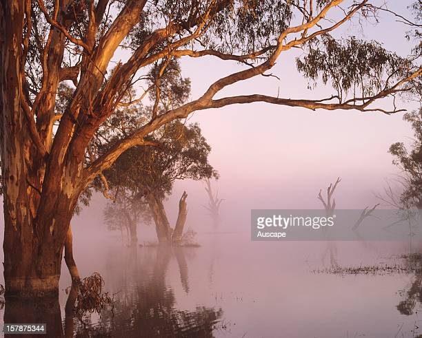 River red gums in floodwaters on the floodplain of the Murrumbidgee River Floods are important for incremental growth of the trees which are managed...