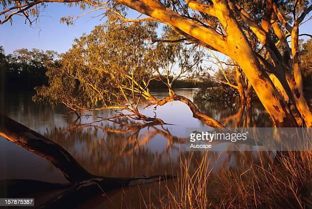 River red gums lining Cooper Creek where it is formed by the confluence of the Thomson and Barcoo Rivers the only place in the world where two rivers...