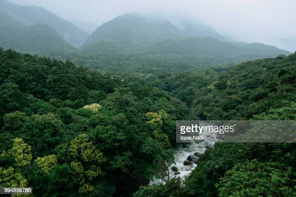river running through lush green forest in rain, yakushima island, japan - foresta temperata foto e immagini stock