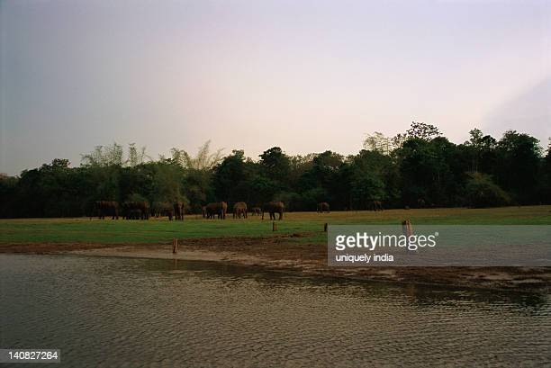 River with a herd of Indian elephant (Elephas maximus indicus) in a forest, Bandipur National Park, Chamarajanagar, Karnataka, India