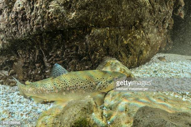 riverine brown trout (salmo trutta morpha fario) in stream, weissenbach, bad ischl, austria - brown trout stock pictures, royalty-free photos & images