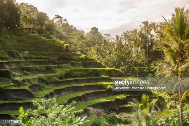 rizières en terrasse de tegallalang - tegallalang stock photos and pictures