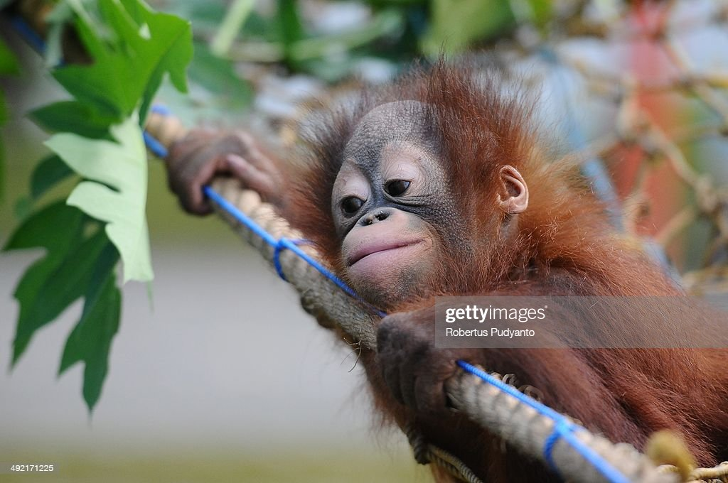 Orphaned Orangutans Are Released Back Into The Wild : News Photo