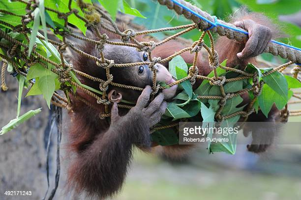 Rizki 10 months orphaned Bornean orang utan starts learning to bite and eating leaves at Surabaya Zoo as he prepares to be released into the wild on...