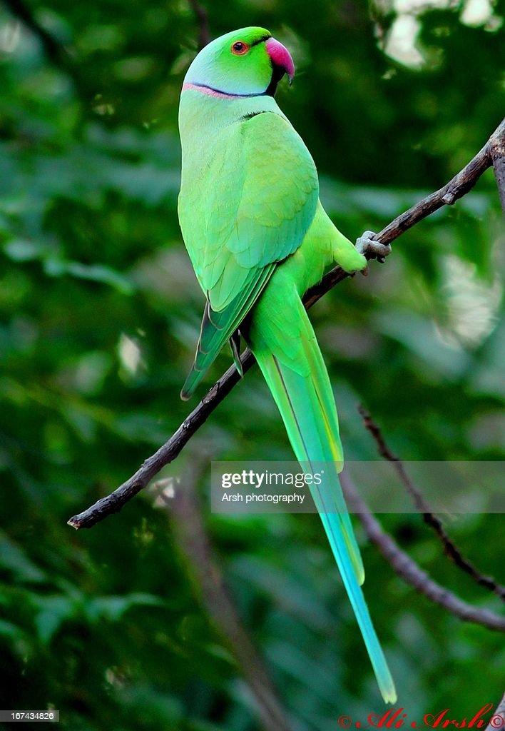 Rng-necked Parakeet : Stock Photo
